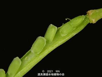コカイタネツケバナの莢と種の画像