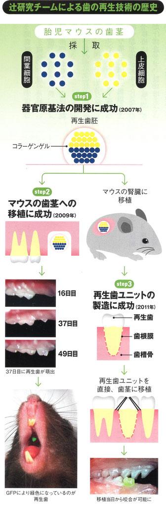 辻研究チームによる歯の再生技術の歴史 胎児マウスの歯茎をマウスの歯茎を移植