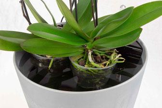 comment arroser les orchidées avec le dispositif d'arrosage OriCine® 12