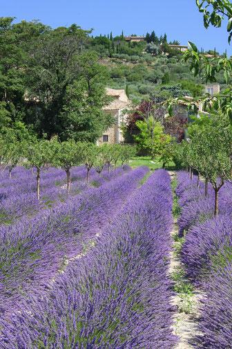 Bild: Lavendelfeld bei Gordes, Provence
