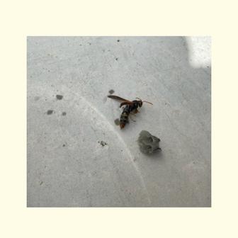 駆除したアシナガバチの女王バチと除去した巣の写真