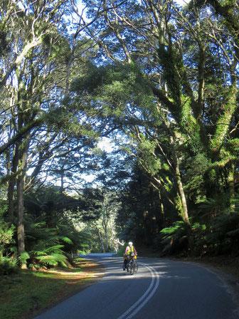 Gegen St. Helens fahren wir durch ein schönes Stück Regenwald.