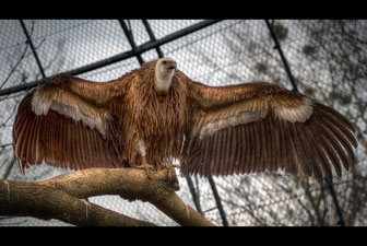 Thomas Wild: The Vulture -Zoo Dresden