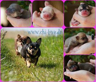 Chi-Love.de | Trächtigkeit und Geburt beim Chihuahua