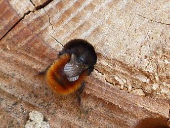 Weibchen der gehörnten Mauerbiene am Eingang ihrer Niströhre, in der es mehrere Brutzellen hintereinander mit Eiern und Pollen bestückt. (Foto T. Schuler)