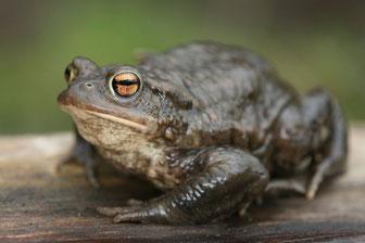 Erdkröte (Foto: F. Derer - LBV-Bildarchiv)