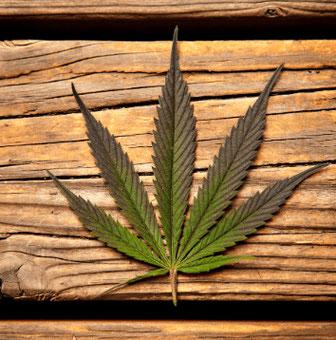 cannabis indica blatt