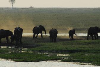 Elefanten am Chobe-Ufer