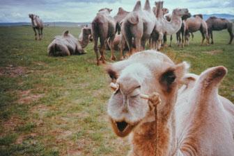 ラクダの群れ(アルハンガイ県ハシャート郡、1985年6月)