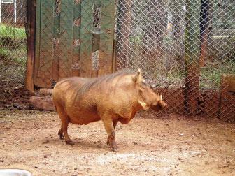 イボイノシシ@ナイロビ動物孤児院