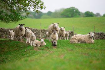 Halal Organic Chicken, Halal Free Range Chicken & Halal Organic Lamb – Halal & Tayyib Foods – 6