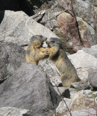 Faune sauvage, chamois, marmottes.