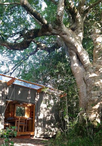ホワイトスティンクウッドの木と宿泊施設