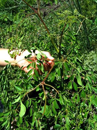 Moringa in unserem Garten