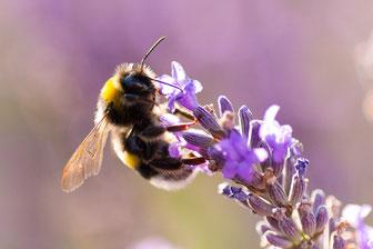 Lavendel, Biene, Bienenweide, Würzkraut, Duftpflanze