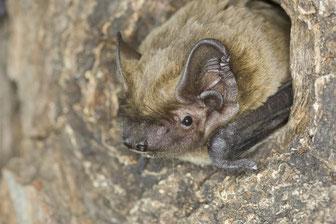 Fledermäuse leben häufig unbemerkt in Baumhöhlen, Ritzen und Spalten. Es muss verhindert werden, dass ihre Quartiere bei Forstarbeiten soweit verloren gehen, dass sie keinen Ersatz mehr finden können. Foto: NABU/Dietmar Nill
