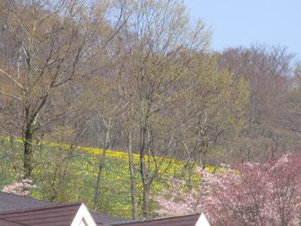 水仙まつり…4/26の写真。5/1には満開♪