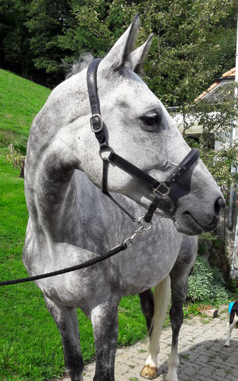 Pferd, Fair Lady