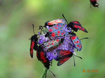 Purpur- und Esparsetten-Widderchen, Zygaena purpuralis und Z. carniolica, saugend