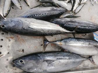 Bonito,Fisch,Peixe,Fish,Martins-Kulinarium,Algarve,Portugal