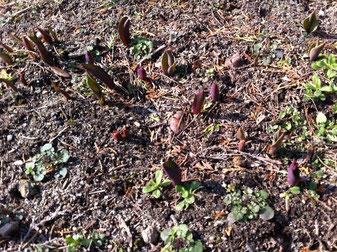 見えますか?赤っぽい尖った芽が。雪に埋もれていた球根からようやく芽がでました!春は着実にやってきます・・・・!