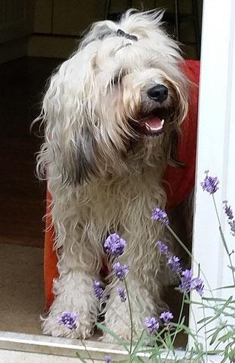 Tibet-Terrier-Hündin Fiona