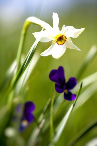 La floraison a lieu de mars à juin, les fleurs étant de couleur blanche ou jaune selon les espèces