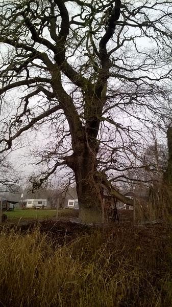 Eiche in den Elbauen bei Dessau in den Mückenbergen