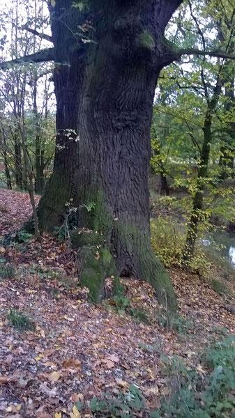 Eiche am Schlangenberg bei Jeßnitz
