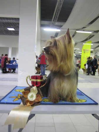 "21.02.2015 International Dog Show ""Baltic Triumph"" St. Petersburg. Expert: Yochai Barak (Israel). intermediate class. Let Me Introduce Bohemia Hsantia: excellent 1, BOB, CACIB 21.02.2015 Международная выставка собак ""Балтийский Триумф"" Санкт Петербург. Эк"