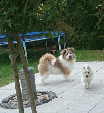 Elo Rauhaar Familienhund wuschelig mittelgroß kinderlieb