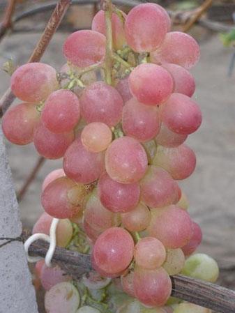 виноград сорта Лия