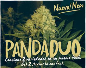 pack semillas marihuana feminizadas, semillas feminizadas big seeds, comprar semillas marihuana, panda duo,