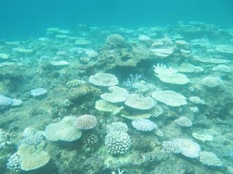 竹富島の南海域で8月21日、白化したサンゴの様子(石垣自然保護官事務所提供)