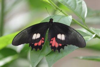 Regenwald, Schmetterling