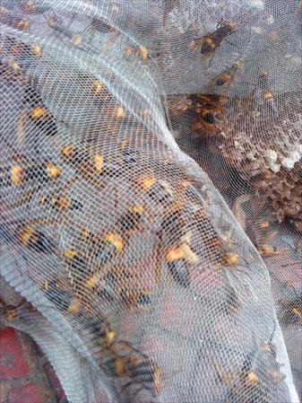 Hornissen, frisch gefangen und lebendig, bereit für die Herstellung von leckerem Schnaps. Gesehen auf einem Straßenmarkt am Hafen in Xiamen.