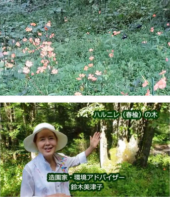 軽井沢の紫水京別荘地のハルニレの木