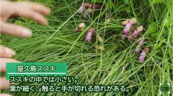 屋久島ススキ