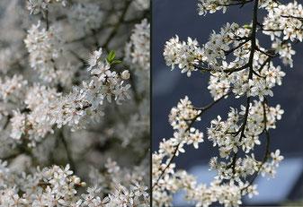 Bild: Kirschpflaumenblüten mit Licht und im Gegenlicht