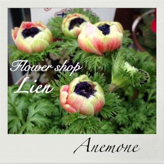 アネモネ・ポルト  春花壇にオススメします。
