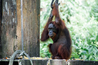 Orangutan in Borneo - The Ultimate Gift Guide For Responsible Yogis © Michael Nussbaumer @Mafambani