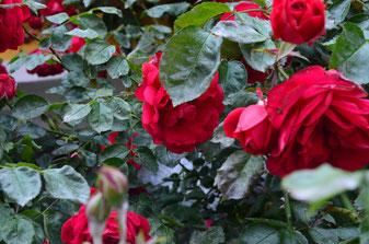 Mehltau, falscher Mehltau, echter Mehltau, bio, biologisch, umweltverträglich, Pflanzenschutz umweltfreundlich nachhaltig regional Pflanzenhilfsstoffe Pflanzenjauche Jauche Brühe Tee Pflanzenextrakt Ab Hof Gemüse Hausgarten Umweltschutz Gemüsekiste Direkt