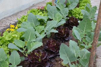 Salatbeet Salat Plfanzenschutz Pflanzenhilfsstoffe bio biologisch umweltverträglich nachhaltig saisonal Pflanzenschutz Umweltschutz Ab Hof Direktvermarkter Jungpflanzen Jauche Pflanzenhilfsstoffe Chili Paradeiser Tomaten Obst Gemüse Gemüsekiste Paprika