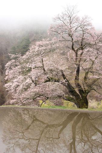 駒つなぎの桜(2011年撮影)