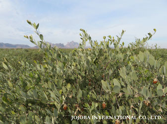 ♔ 原種ホホバの聖地アリゾナ州ハクアハラヴァレー