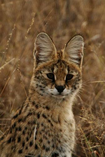 Serval-savannah