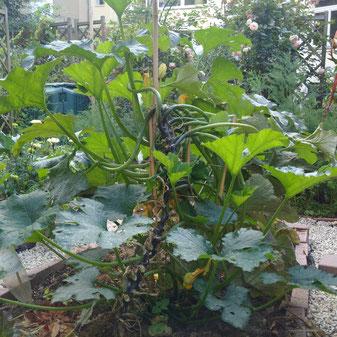 Zucchini rankt nach oben