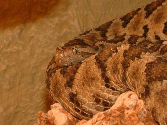 Crotalus enyo enyo - female -