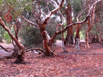 in diesen Bäumen sind die kuscheligen Koalas zuhause