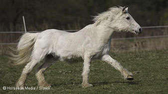 Diabetes und Insulinresistenz bei Pferden